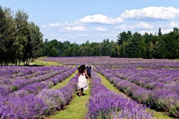 Chuyện tình hoa Oải hương (hoa Lavender)