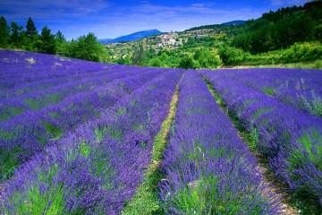Phân biệt các dòng hoa Lavender
