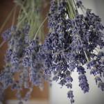 Hoa-Lavender-Lav02