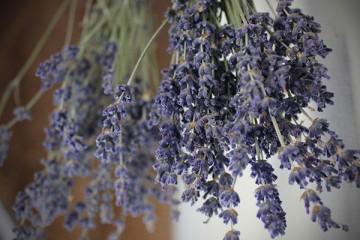 Cách chữa mốc hoa Oải hương – Các loại hoa khô khác
