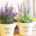 cach-trong-hoa-lavender